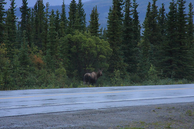 Aug 19th     Wake up 6:00am to light, cold rain. - Joey spots first Moose! - I spot a mature female a little while later & went out to photograph it (above).  Suddenly I look to my left and an immature moose...