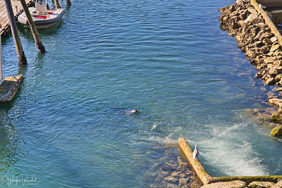 20180916_Alaska2018_Juneau_Fish_Ladder_Seal&SealGull_750_8180