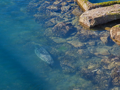 Juneau, Alaska:  Fish Hatchery and the Ever Present Harbor Seal