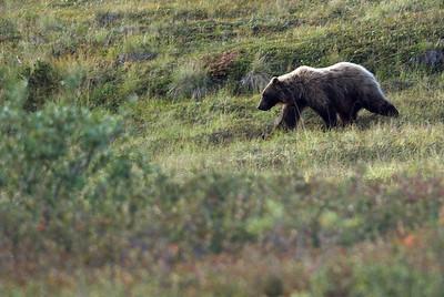 Grizzly bear; Denali National Park