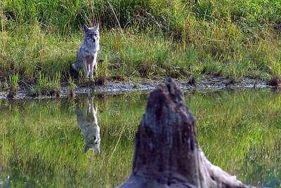 Coyote at the Alaska Wildlife Conservation Center