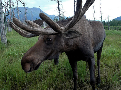 Bull moose at the Alaska Wildlife Conservation Center near Soldotna, AK