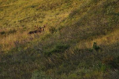 Bull moose on the hillside