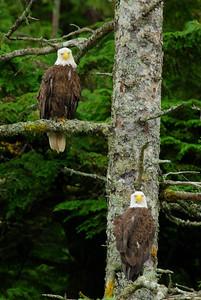 Two Bald eagle