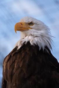 Bald eagle at the Alaska Wildlife Conservation Center
