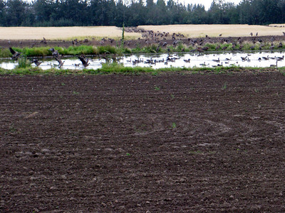 Migratory geese and ducks at Creamer's Field