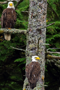 Two Bald eagles watched as our whale watch boat goes by