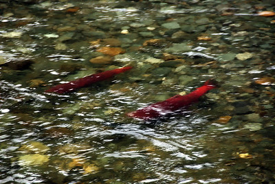 Spawing_Sockeye_Salmon
