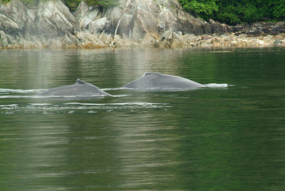 There were several whales in this pod, an unusual occurance according to the boat captain.