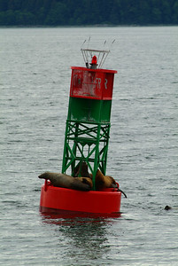Harbor seals resting on one of the channel bouys