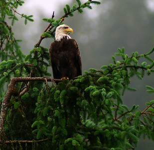 Ketchikan had many bald eagles.  This is one and the next photo were just two which were close enough to photograph.