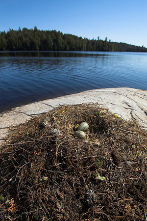 Algonquin Park Seagull's nest on Kenneth Lake
