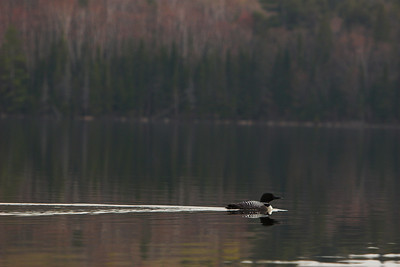 Loon on Opeongo