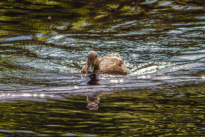 Black Duck on the Madawaska River, Algonquin Park