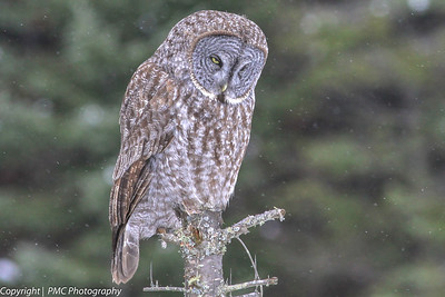 Great Gray Owl, Algonquin Park