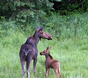 Moose Cow & Calf