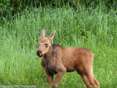 Moose Calf, Algonquin Park