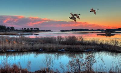 Tundra Swans at Chincoteague, Virginia 2011