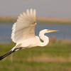 Great Egret<br /> Cover Photo, MSNJ 2010 Calendar