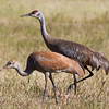 Sandhill Crane with fledgling, Fairbanks, AK