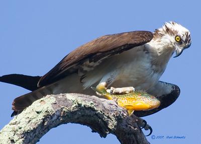 Osprey with fresh catch