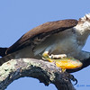 Osprey with fresh catch