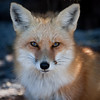 Red Fox Portrait<br /> Island Beach State Park