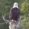 Bald Eagle <br /> Redoubt Bay, Alaska