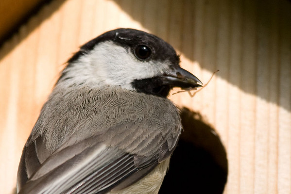 chickadee, bringing home lunch for the kiddies