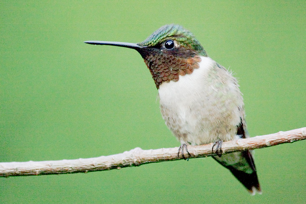 Male hummer profile