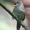 wren, singing