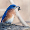 bluebird with lunch