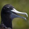 Magnificent Frigatebird-2