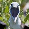 Magnificent Frigatebird-1