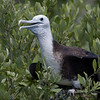 Magnificent Frigatebird-5
