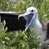 Magnificent Frigatebird-3