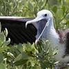 Magnificent Frigatebird-3