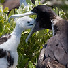 Magnificent Frigatebird-4