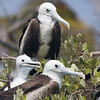 Magnificent Frigatebird-8