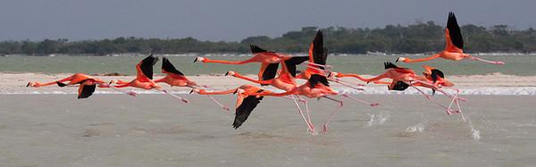 Flamingos, running takeoff<br /> Rio Lagartos, Mexico