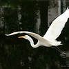 Great Egret, Hilton Head, SC