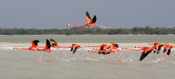 Flamingos takeoff<br /> Rio Lagartos, Mexico