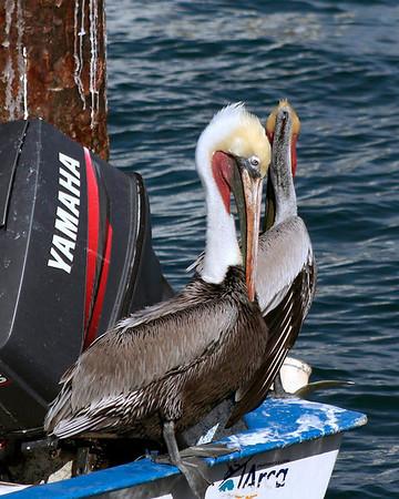 Yamaha Pelicans