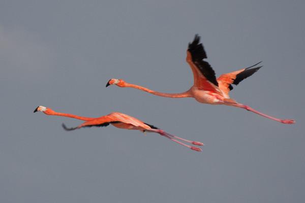 Flamingos 1<br /> Rio Lagartos, Mexico