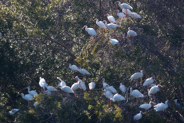 A flock of white ibis(es?)