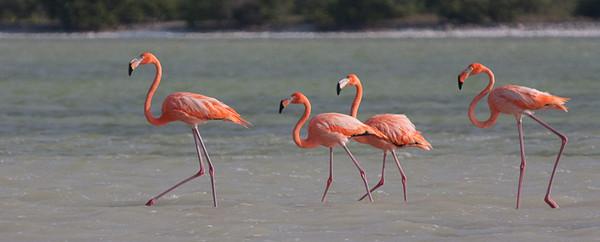 Four Flamingos<br /> Rio Lagartos, Mexcio