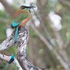 Turquoise-Browed Motmot #1