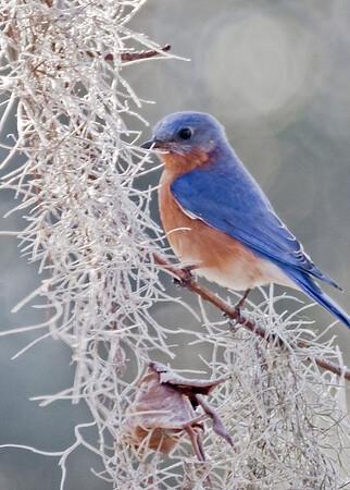 Eastern Bluebird, South Carolina