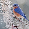Eastern Bluebird, South Carolina