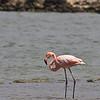 Flamingo, Curacao